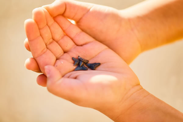 Remote Learning Field Trip / Shark Teeth - ©The Ritz-Carlton, Amelia Island