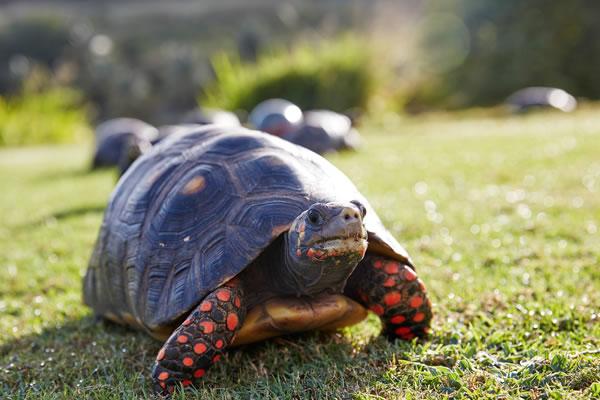 Tortoise -©Mandarin Oriental, Canouan