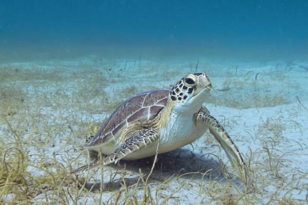 Sea Turtle Summer Camp Offer ©Four Seasons Resort Nevis, West Indies