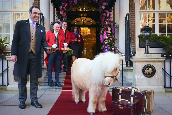 Arrival of Teddy the Shetland Pony at The Goring -©Adam Lynk Photography